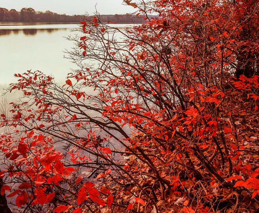 High bush blueberries in bright red fall color, Heard Pond, Great Meadows National Wilflife Refuge, Wayland, MA