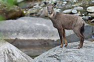 Chinese or Long-tailed goral, Naemorhedus griseus, Tangjiahe National Nature Reserve, NNR, Qingchuan County, Sichuan province, China
