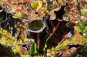 Pitcher Plants and peat moss in the Eagle Hill Bog, Campobello Island, New Brunswick.