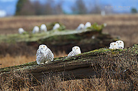 Snowy owls during the 2011-12 winter irruption at Boundary Bay, Vancouver, BC