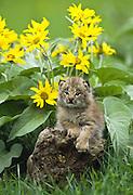Lynx kitten (Lynx canadensis)