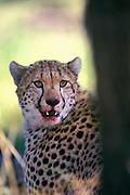 Image of a cheetah (Acinonyx jubatus) at the Masai Mara National Reserve in Kenya, Africa by Randy Wells