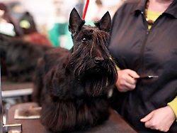 © Licensed to London News Pictures. 11/03/2012. Scottish terrier Bethany who is not in the veterans class, waits to enter the ring as competitors prepare for the Terrier and Hound day of the 2012 Crufts final at the Birmingham NEC Arena.  With over 28,000 dogs taking part the tension is high as the competition draws towards the prestigious title of  Best in Show. Photo credit: Alison Baskerville/LNP