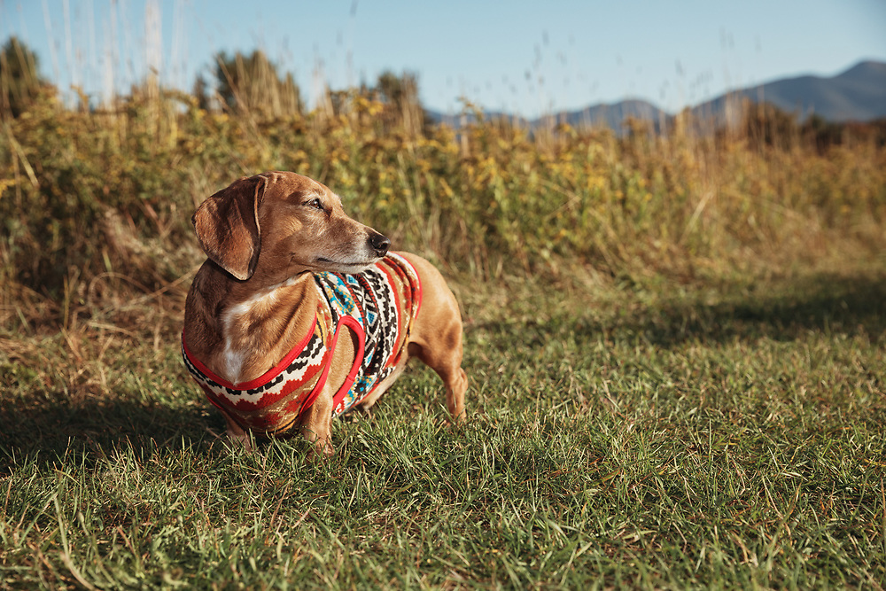 dachshund posing in the late day sun