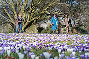 © Licensed to London News Pictures. 11/03/2015. Kew, UK. A woman photographs the display. . People enjoy the crocus displays at Kew Garden's today 11th March 2015. The display features the variety Crocus tommasinianus. The Uk has enjoyed warm sunny weather this week.  Photo credit : Stephen Simpson/LNP