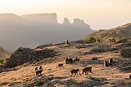 Eine Dschelada-Gruppe (Theropithecus gelada) am Abend auf dem Weg zu den Felswänden, wo sie die Nacht verbringen werden, Simien Nationalpark, Debark, Region Amhara, Äthiopien / <br /> <br /> A Gelada group (Theropithecus gelada) in the evening on their way to the rock walls where they will spend the night, Simien National Park, Debark, Amhara Region, Ethiopia