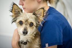 Dog being held and comforted by a veterinary nurse at Rushcliffe Veterinary Centre, West Bridgford, Nottingham, UK.<br /> Photo: Ed Maynard<br /> 07976 239803<br /> www.edmaynard.com