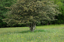Hawthorn tree in a field. Showing circular area at base where flowers don't grow
