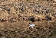 A Common Merganser (Mergus merganser) swimming in a channel at Katzie Marsh.  Photographed from along the Katzie Marsh Loop trail in Pitt Meadows, British Columbia, Canada.