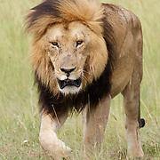Africa Lion, large male, Masai Mara Game Reserve, Kenya
