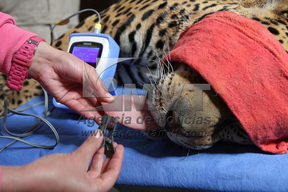 CALIMAYA, Mex - Una forma de mantener en buen estado a los animales que habitan el Zoologico de Zacango es llevar revisiones medicas continuamente a cada una de las especies, en este caso, Diego, un jaguar de mas de 3 años de edad, producto de un decomiso por parte de PROFEPA en el 2009, fue manejado por el personal veterinario encabezados por el médico veterinario Fernando Mejia Varas,  para tomar muestras de sangre, ver el estado de su dentadura, garras  y piel, y regresarlo a su lugar;  como este chequeo se les realiza a cada uno de los habitantes de este lugar para mantenerlos en optimas condiciones.   Agencia MVT / Crisanta Espinosa.