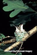 01162-021.01 Ruby-throated Hummingbird (Archilochus colubris) nestlings, Marion Co.   IL