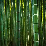 Green bamboo forest in Hangzhou botanical gardens (Hangzhou, China - Oct. 2008) (Image ID: 081001-1347171a)