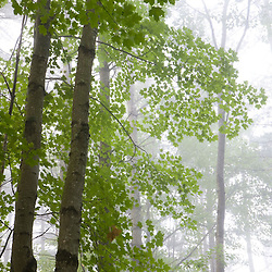 A northern hardwood forest near Mirror Lake in Woodstock, NH.  Hubbard Brook Experimental Forest.  White Mountain National Forest.