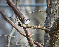 Downy Woodpecker perched on a branch. Image taken with a Nikon D300 camera and 80-400 mm VR lens (ISO 200, 400 mm, f/5.6, 1/320 sec).