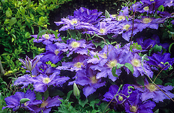 Clematis 'Lasurstern' in the long border at Great Dixter