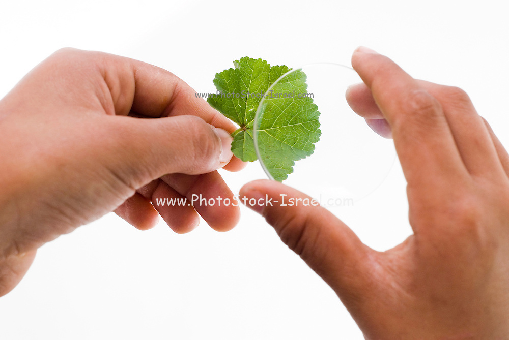 Inspecting a leaf under a magnifier. Hands hold a leaf and magnifying glass on white background
