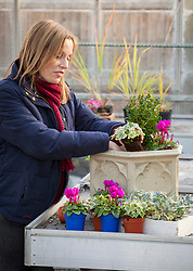 Planting up a winter container with ivy, cyclamen and box. Buxus sempervirens