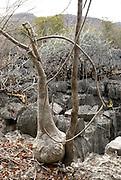 Madagascar, Ankarana Special Reserve Large base of an Adenia tree
