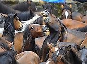 Galicia, Spain -  <br /> <br /> Taming of The Beasts<br /> <br /> On the first weekend of July, hundreds of wild horses are rounded up during the 'Rapa Das Bestas' (taming of the beasts) in different villages in the Spanish northwestern region of Galicia. The more than 400-year-old festival lasts four-days, during which the horses are wrestled to the ground by hand to have their manes and tails sheared. The festival sees horses herded down from the mountains by Aloitadores, or fighters, who work in teams of three to overpower them. Thousands of visitors descended on the small village to watch the fighters man-handle the wild animals into submission. The horses used in the festival live in a semi-feral state in the nearby mountains. Wrestling the animals, which can weigh several hundred kilograms, is seen as a test of strength and will<br /> <br /> Two horses fight during the Rapa das Bestas traditional event in the Spanish northwestern village of Sabucedo<br /> ©Marcio Machado/Exclusivepix media