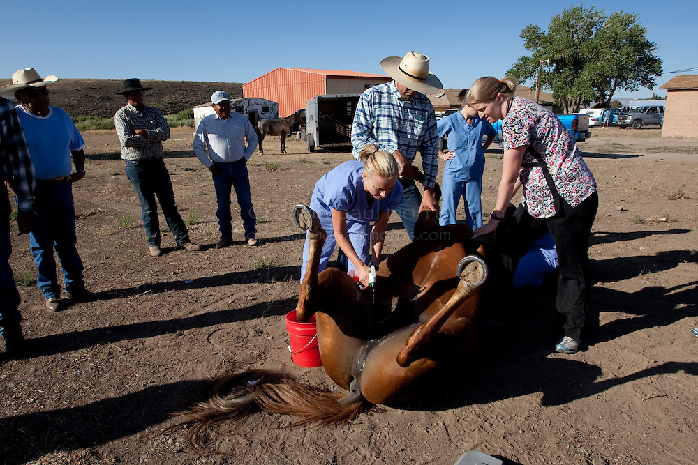 MCDERMITT, NV - AUG 17  Vet students Laura Ahlgrim (L) and Alexandra Ford prepare Red a 5 year old Sorrow Quarter Horse before receiving castration surgery during a clinic sponsored by the Humane Society of the United States August 17, 2009 in McDermitt Nevada.  (Photograph by David Paul Morris)