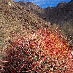 Anza-Borrego S.P., CA. Borrego Canyon. San Ysidro Mtns. Colorado Desert. Barrel cactus, ferocactus acanthodes.