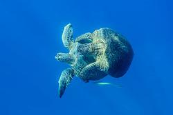 Chelonia mydas, Gruene Suppenschildkroeten bei der Paarung, Mating Green Sea Turtle, Seaturtle, Marsa Alam, Rotes Meer, Ägypten, Red Sea Egypt