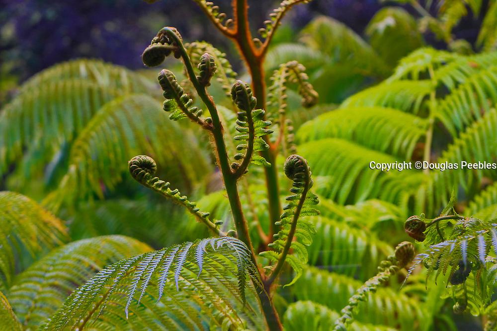 Ama'u fern, Rainforest, Hawaii Volcanoes National Park, Kilauea Volcano, Big Island of Hawaii