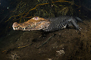 Cuvier's Dwarf Caiman (Paleosuchus palpebrosus) lies motionless on the bottom of a spring in Mato Grosso do Sul, Brazil.