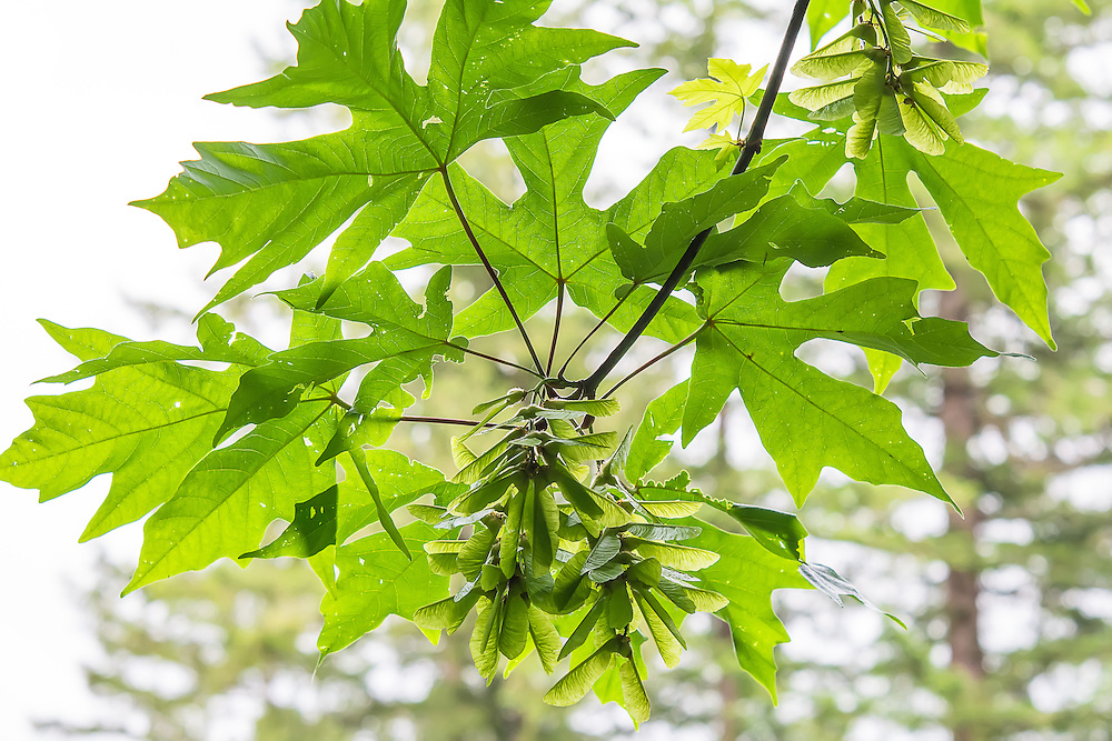 "Perhaps the most common and recognizable native hardwood tree in the Pacific Northwest, the bigleaf maple is the largest maple in the area, and the leaves are a prized food source for deer and elk. Pictured here are the winged seeds so commonly and widely recognized by most people. Called samaras, these twin seeds when dried and mature, will split and ""whirlybird""  down to the forest floor, and with any luck will sprout. This one was found growing near the edge of Deep Lake, near Enumclaw, WA."