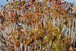 ZHANGYE, Oct. 30, 2016 (Xinhua) -- Icicles hang from branches at a wetland of Heihe River in Zhangye City, northwest China's Gansu Province, Oct. 29, 2016. (Xinhua/Yan Ziwei) (ry) (Credit Image: © Yan Ziwei/Xinhua via ZUMA Wire)