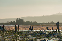 Farm hands working in Stellenbosch, Western Cape, 30 May, 2020. It's strawberry-planting season. When South Africa moved to Level 4 of the national lockdown at the beginning of this month, the agriculture sector was allowed back to work. However, the wine industry was still stalled as the transport and sale of liquor is prohibited. PHOTO: EVA-LOTTA JANSSON