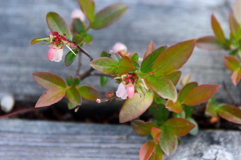 flowering blueberry plant growing between planks of boardwalk