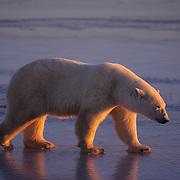 Polar Bear (Ursus maritimus) in alpenglow light on Hudson Bay, Canada.