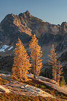 Subalpine Larches (Larix lyallii) in golden autumn color at Cutthroat Pass. Cutthroat Peak is in the distance. North Cascades Washington