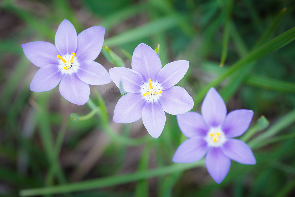 Prairie celestials wildflowers, Cedar Hill State Park, Texas, USA.