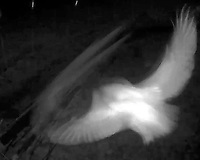 Owl (ID unknown) captured by infrared video camera.