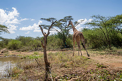 Asiwa, a Rothschild's (Nubian) giraffe who has become stranded on Longicharo Island, a rocky lava pinnacle, inside Lake Baringo in western Kenya, is moved off the flooded island by a barge December 2, 2020.  Rising lake levels have cut the peninsula into an island, trapping 8 giraffes. The local community is working with conservation organizations to keep them alive. She was moved on the barge for 1.1. miles to the 4,400-acre fences sanctuary within the 44,000 acre Ruko Conservancy.  Asiwa was isolated on a far part of the island. Today, fewer than 3,000 Rothschild's giraffes are left in Africa, with about 800 in Kenya.   (Photo by Ami Vitale)
