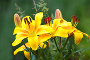 Yellow Lily Flower, Lilium, Garden Kent UK,