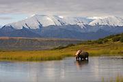 Moose (Alaska-Yukon), Alces alces gigas; bull, antlers, autumn, scenic, feeding, tundra pond; largest subspecies of moose; Denali National Park, Alaska, ©Craig Brandt, all rights reserved; brandt@mtaonline.net