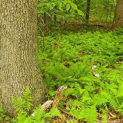 Ferns in the forest at Phillips Farm in Marshfield, Massachusetts.