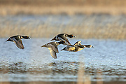 Courtship FLight of Ring-necked Ducks