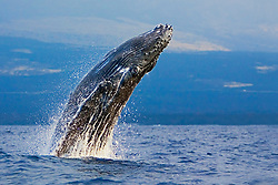 Humpback Whale calf, breaching with eyes wide-open - typical behavior of calves, Megaptera novaeangliae, Hawaii, Pacific Ocean