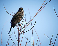 Female Red-winged Blackbird (Agelaius phoeniceus). Alamosa National Wildlife Refuge, Colorado. Image taken with a Nikon D300  camera and 80-400 mm VR lens