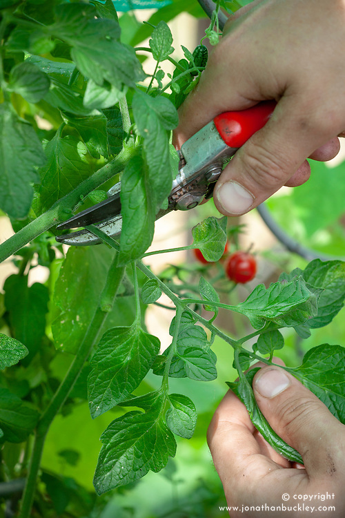 Removing leaves on tomato plants to allow more sunlight in and encourage ripening