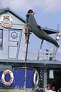 bottlenose dolphin, Tursiops truncatus, jumps to take a fish from trainer at Miami Seaquarium, Virginia Key, Florida, USA