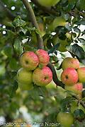 Malus - apples, September