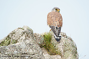 A brave Kestrel landed just 10 feet away from us, eye-balled us but didn't flinch. I took a few pictures of it before leaving him to it. Just seconds later he landed on the path just 6ft away from us before flitting down to the cliff top where I managed a couple of frames with the sea behind it.