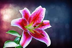 Lilium 'Stargazer'  - Oriental lilies are known for their fragrant perfume. It happens to be my wife's favorite flower so I get to photograph them often :)