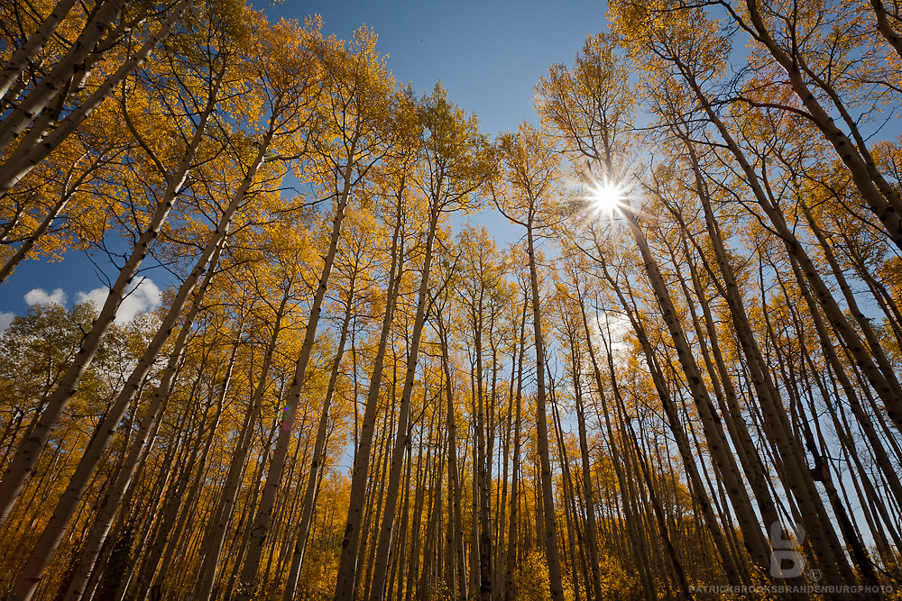 A wide angle view of aspen trees, with sun shining through golden branches.